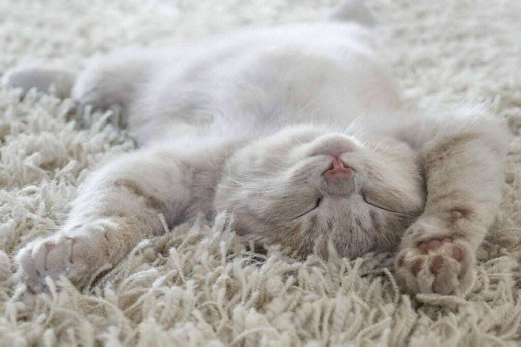 gatto dorme sul tappeto
