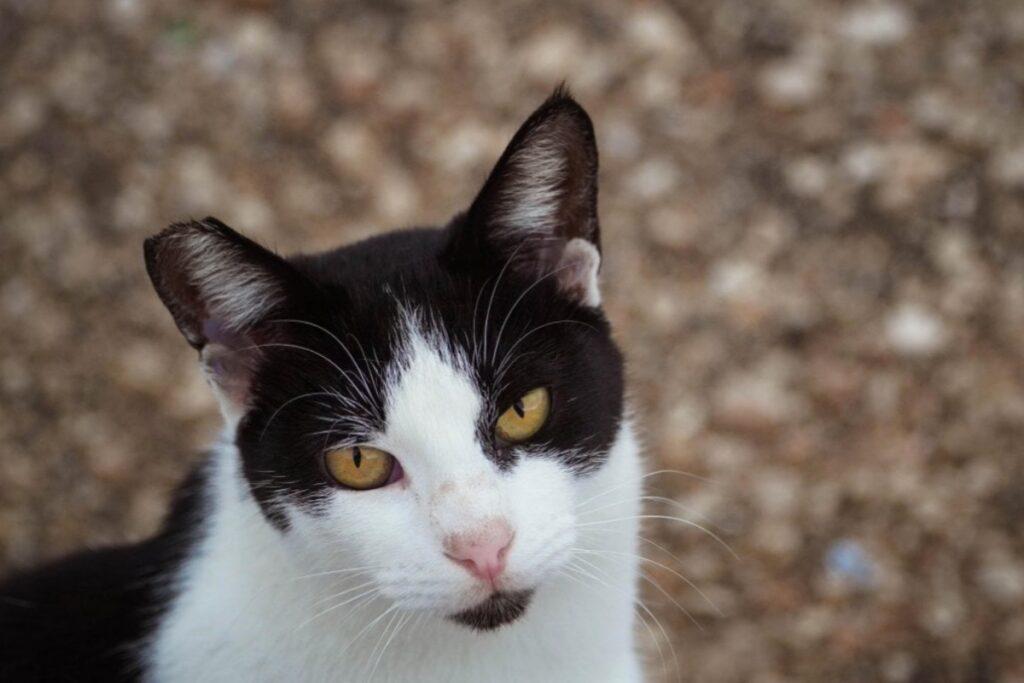 gattino bicolore