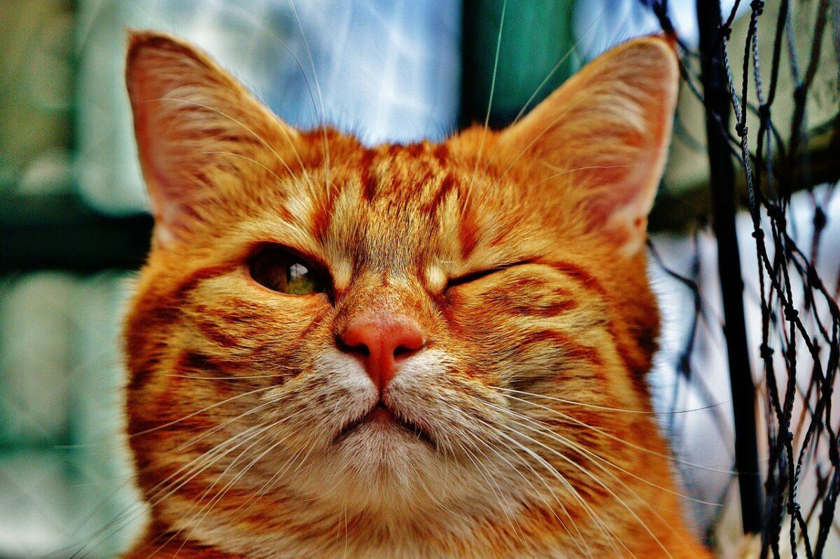 gatto rosso fa l'occhiolino