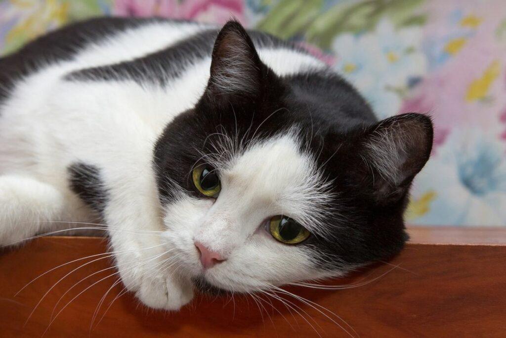 gatto bianco e nero triste