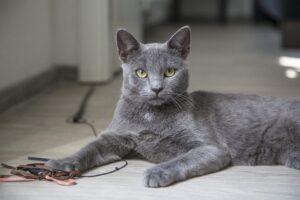 gatto grigio che gioca sul pavimento