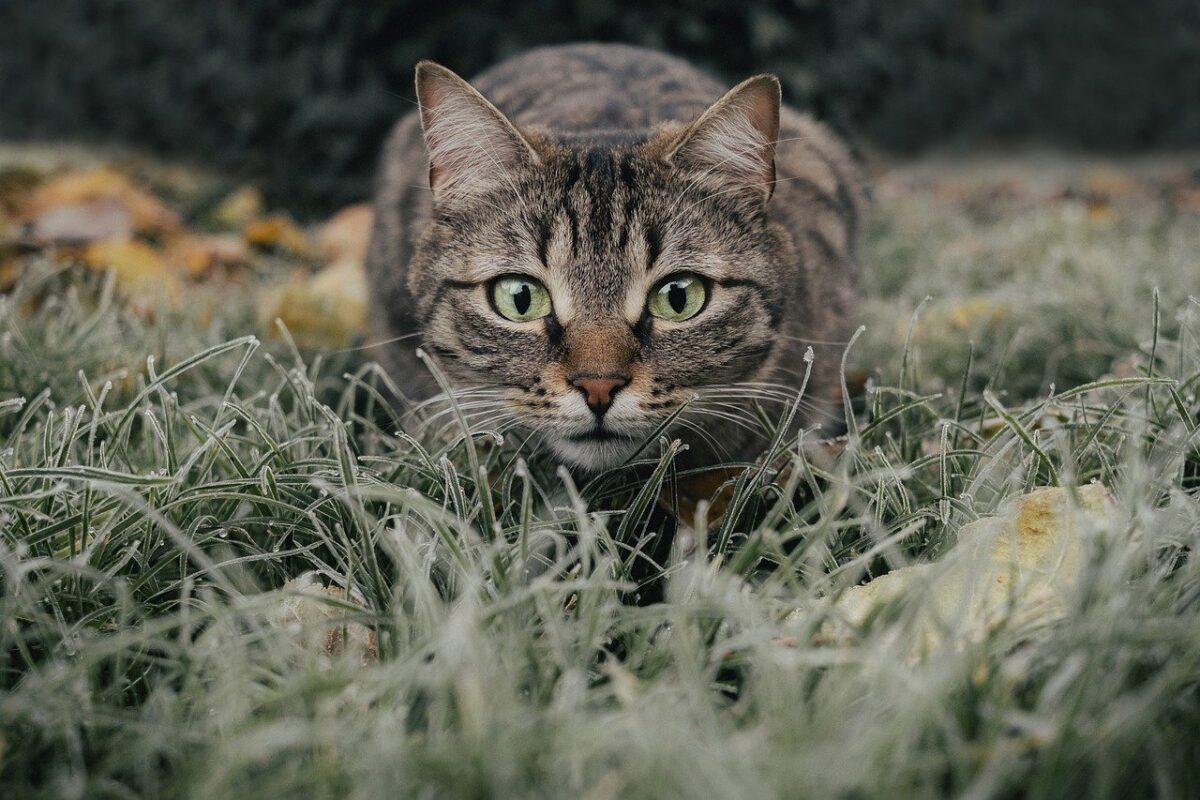 gatto in agguato