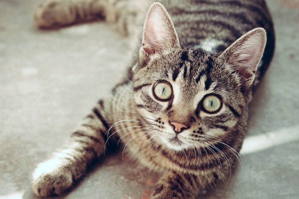 gatto che fissa negli occhi