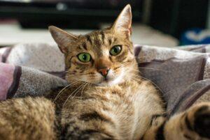 gatto sulla coperta