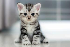gattino tigrato grigio