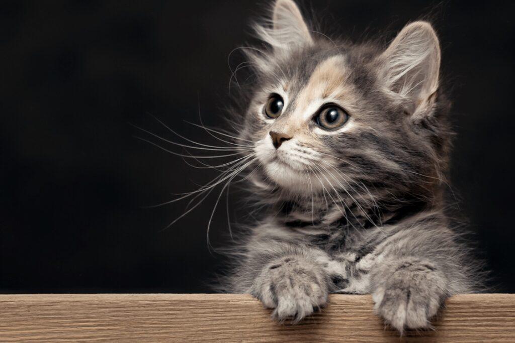 gattino appoggiato su legno con le zampe anteriori
