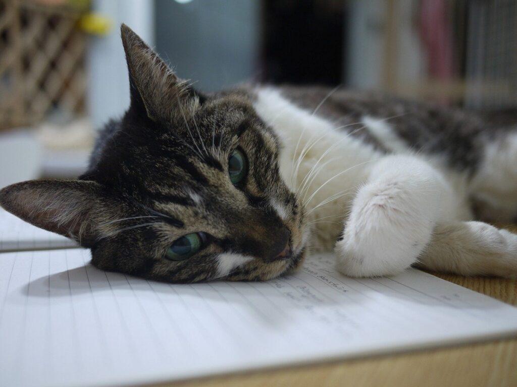 gatto quaderno riposino
