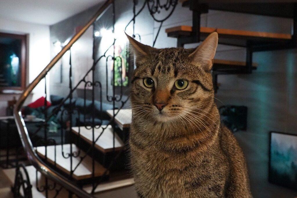 splendido gatto tigrato