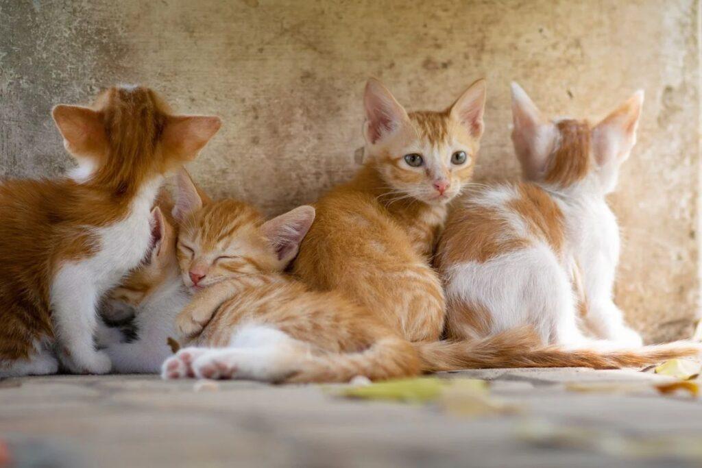 cuccioli di gatto arancioni