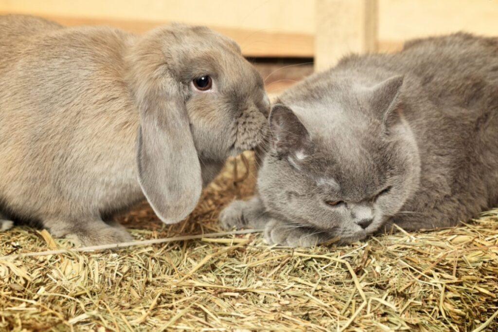 gatto grigio e coniglio