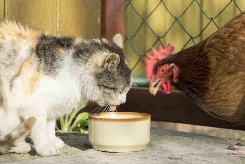 gatto e gallina mangiano insieme