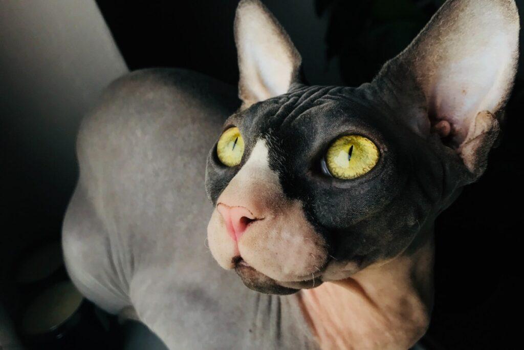 gatto sphynx con gli occhi gialli