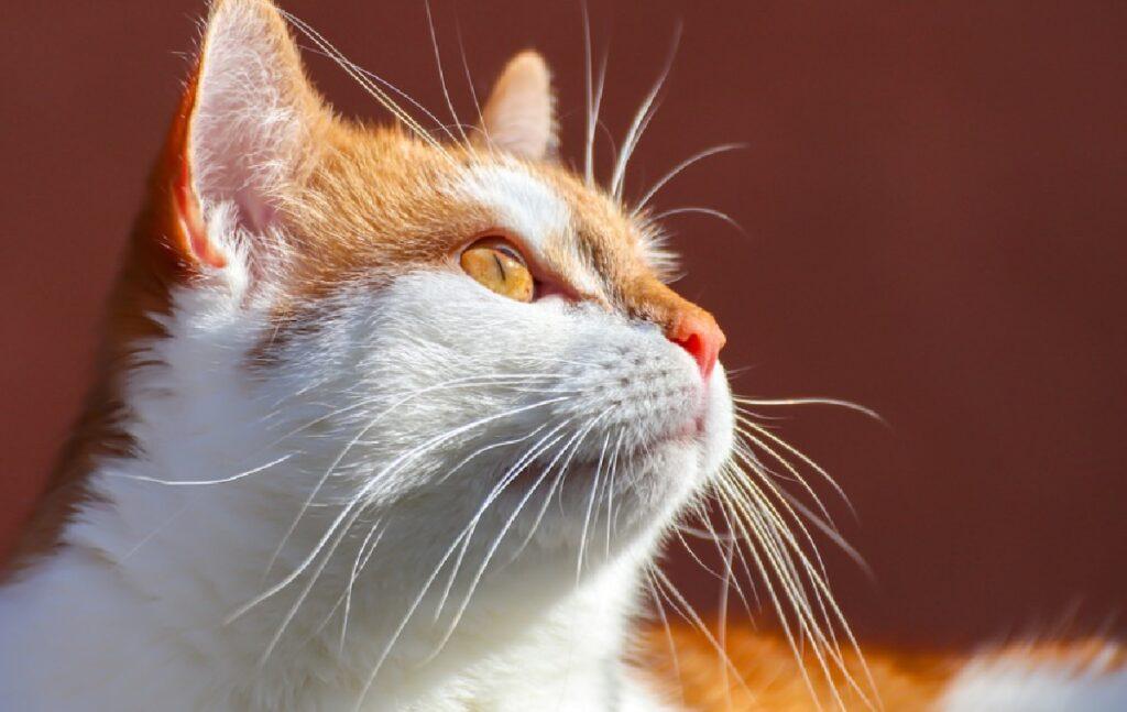 gatto sole sul viso bianco