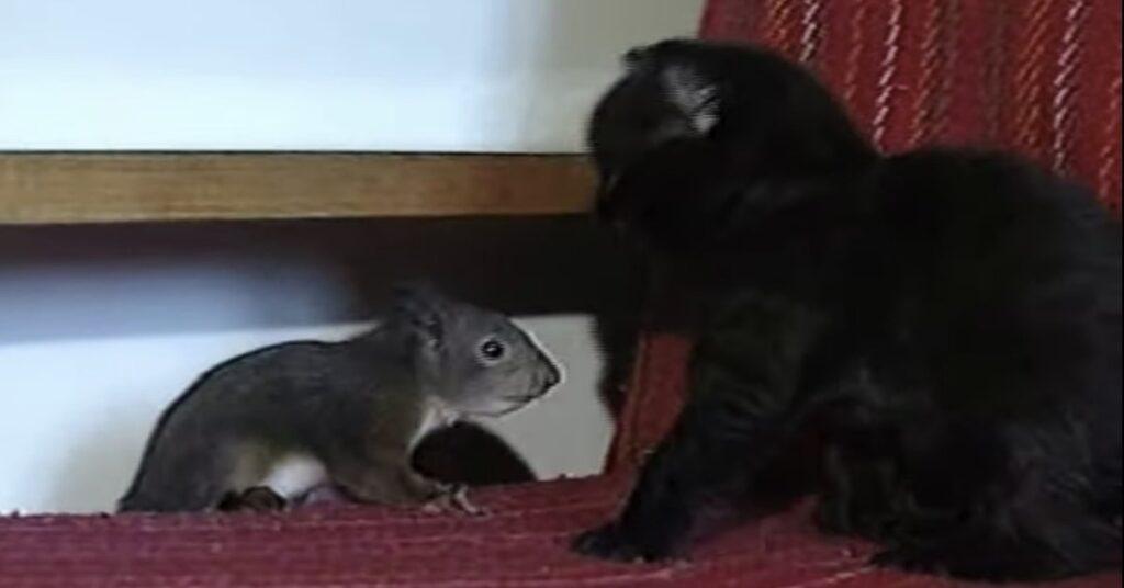 roditore gioca con gattino