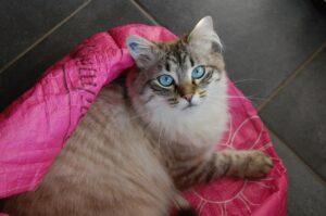 coperta rosa con su un gatto dagli occhi azzurri