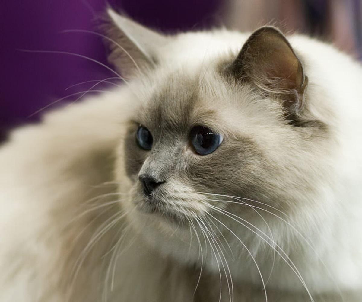 gatto occhi blu