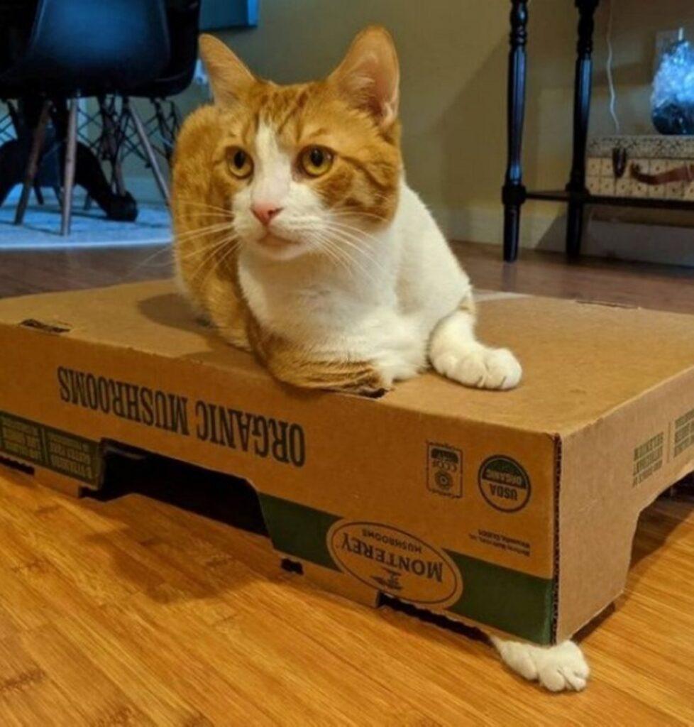 gatto cassetta cartone
