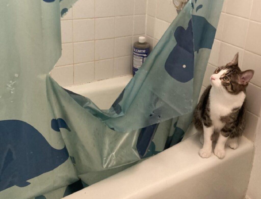 gatto dentro bagno non risparmia tenda
