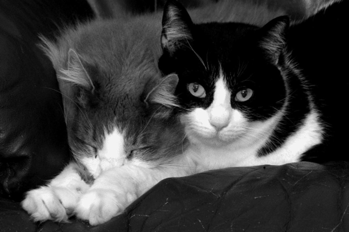 gatti bianco e nero