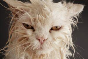 gatto arruffato