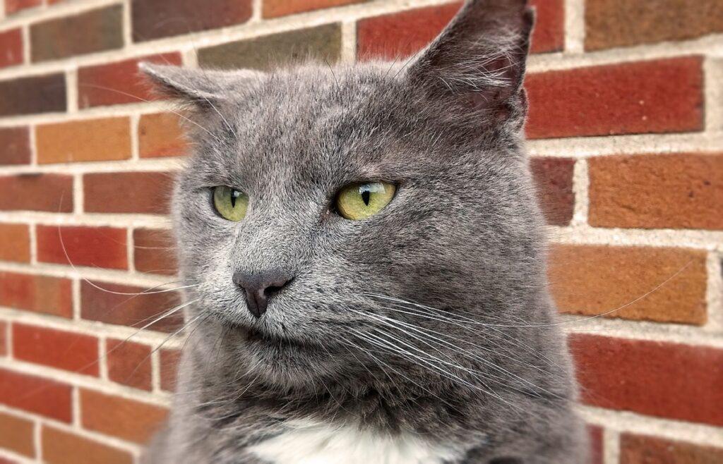 gattino muro mattoni