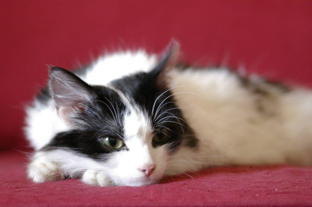 gatto sfondo rosso