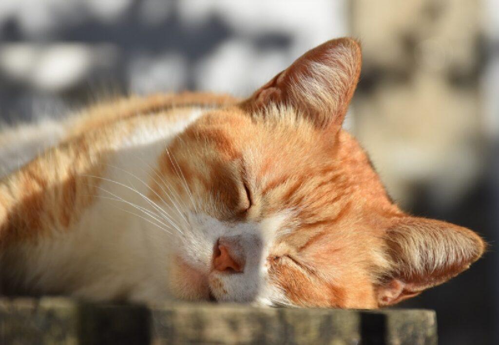 gatto si riposa senza ombra
