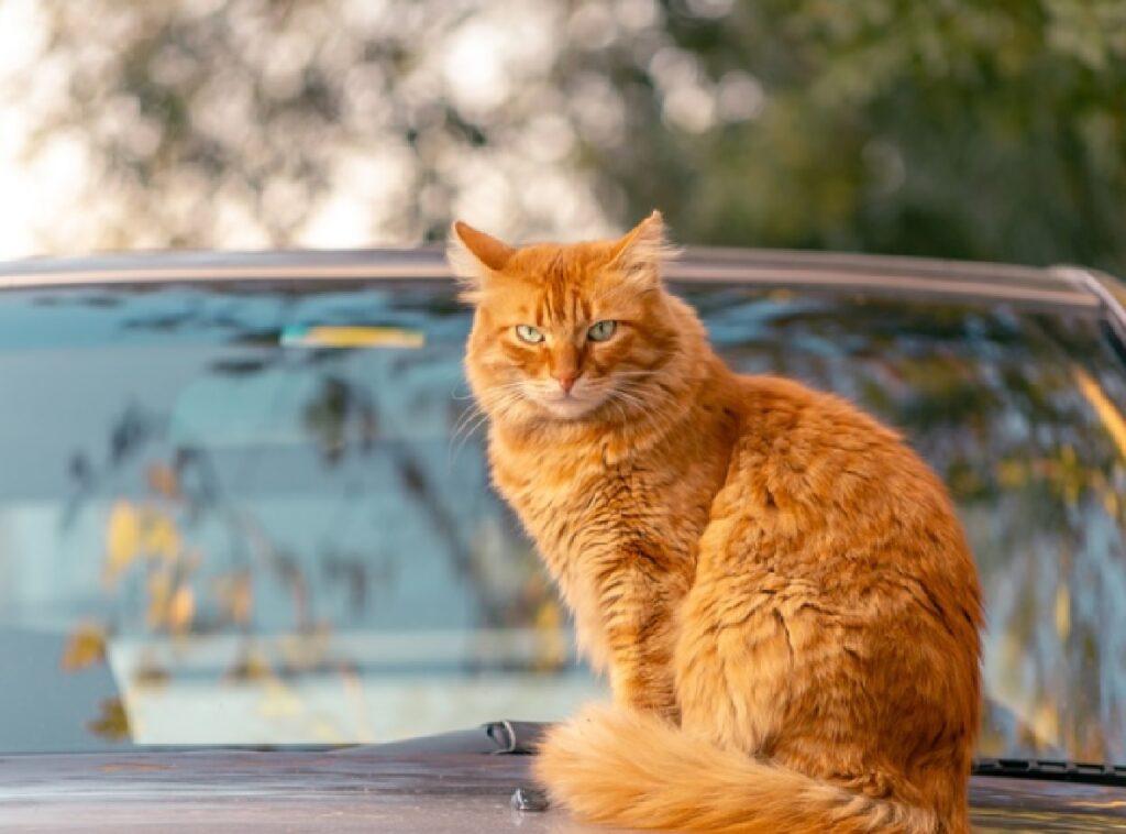 gatto arancione sopra cofano