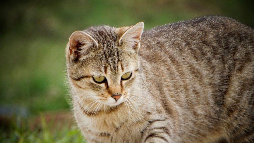 gatto tigrato natura