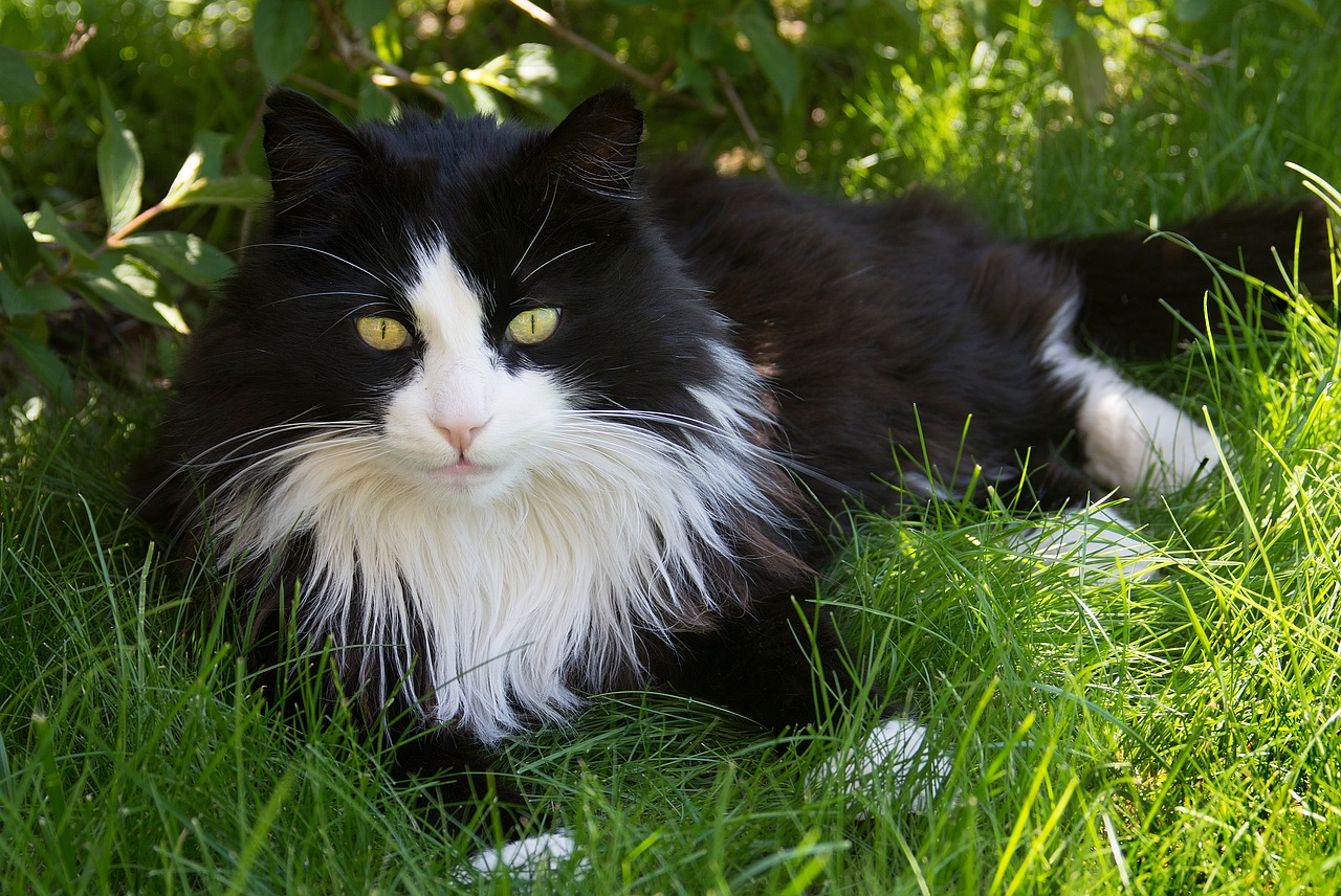 gatto pelo bianco e nero
