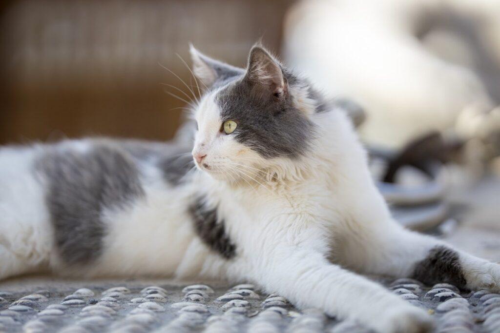 gatto bianco e grigio a pelo lungo