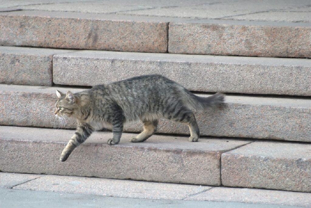 gatto scende scale