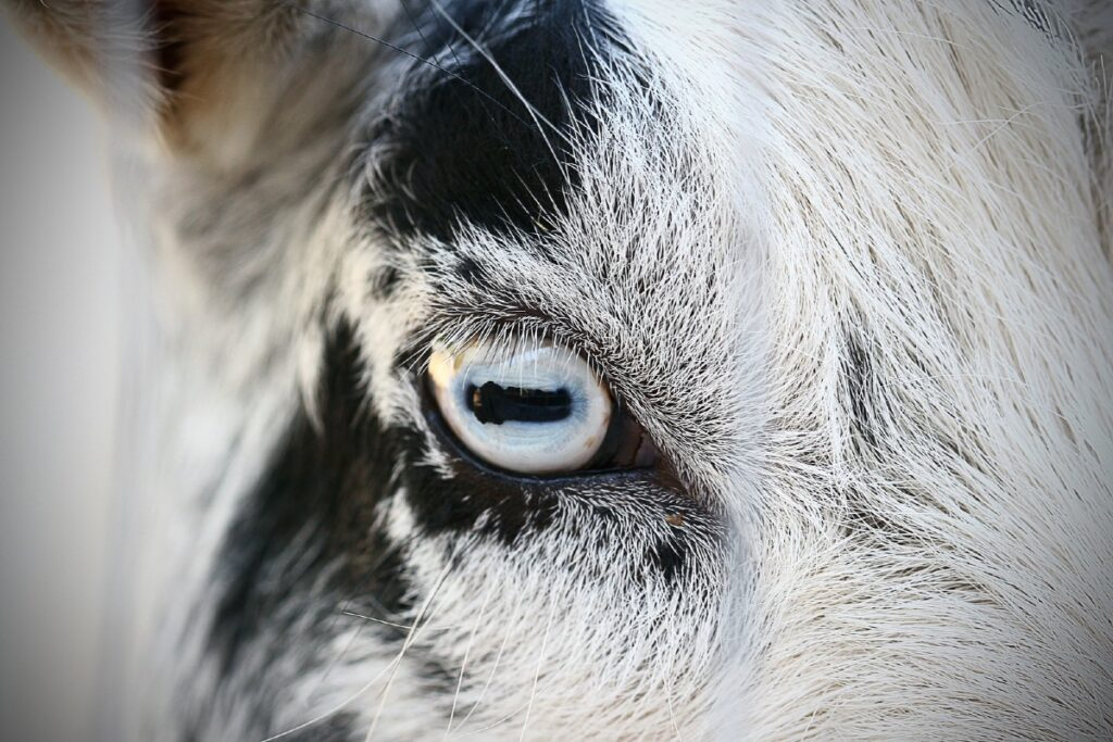 occhio della capra diverso da quello del gatto