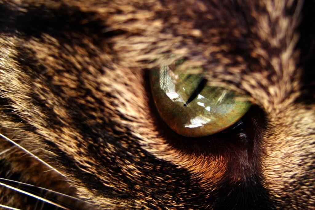 occhio del gatto nel dettaglio