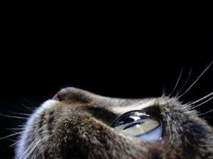 occhi del gatto di profilo