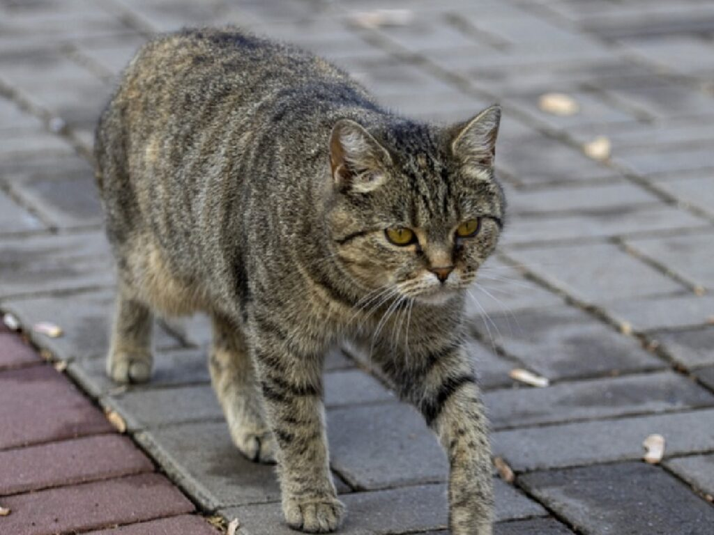 gatto soriano cammina lungo strada