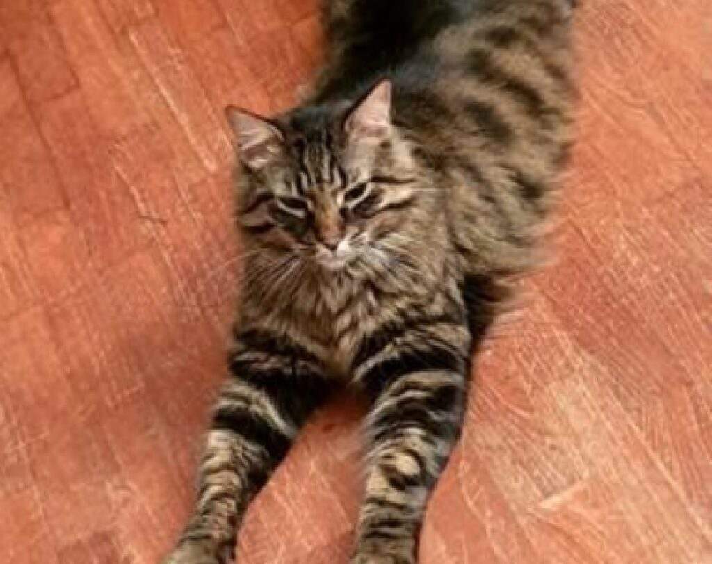 gatto palmiro grossa taglia