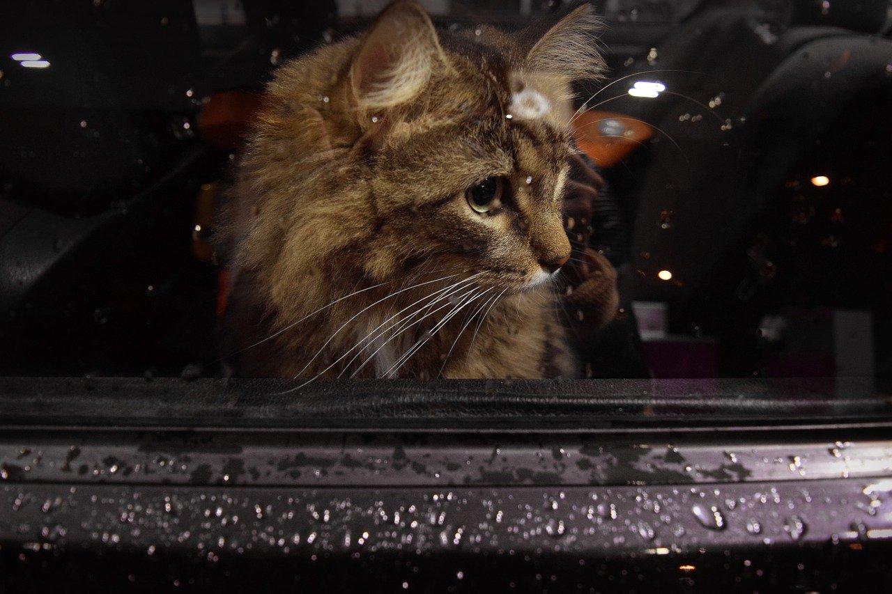 gatto guarda dal finestrino