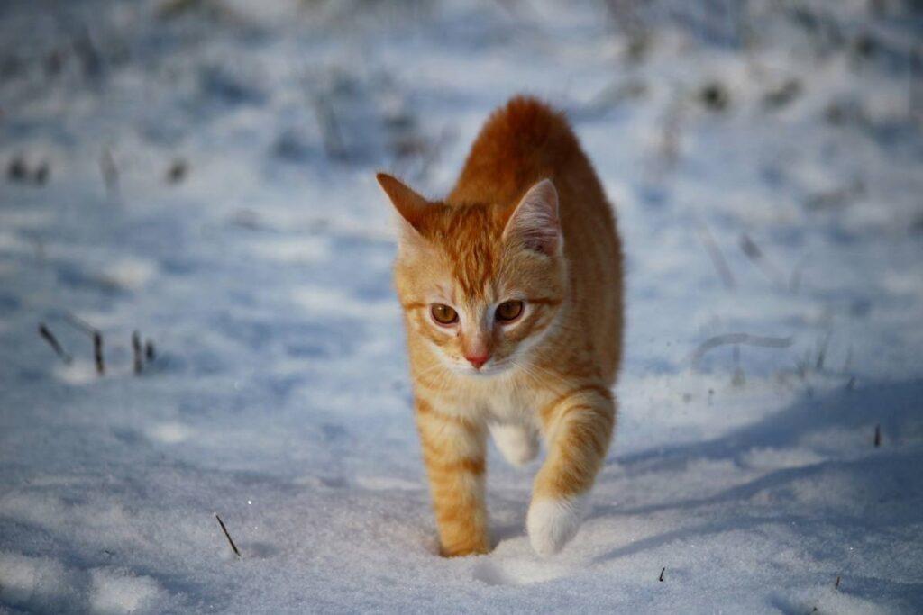 gatto tra la neve
