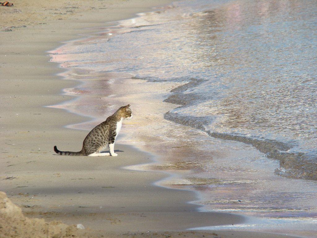 gatto di fronte alle onde del mare