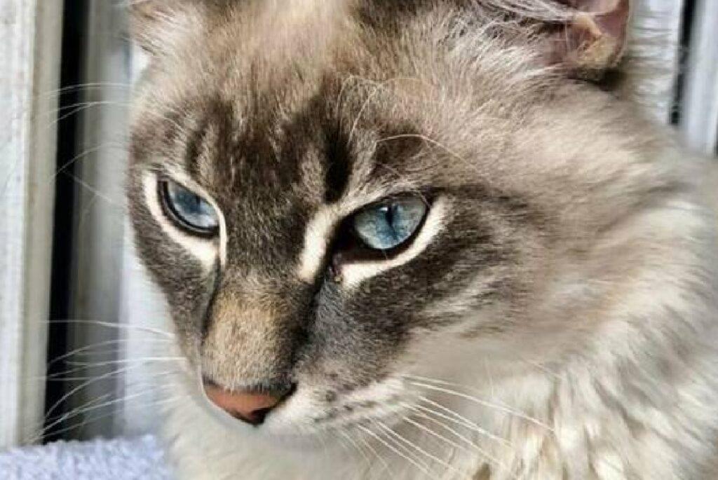 gatto sguardo incredibile bellezza