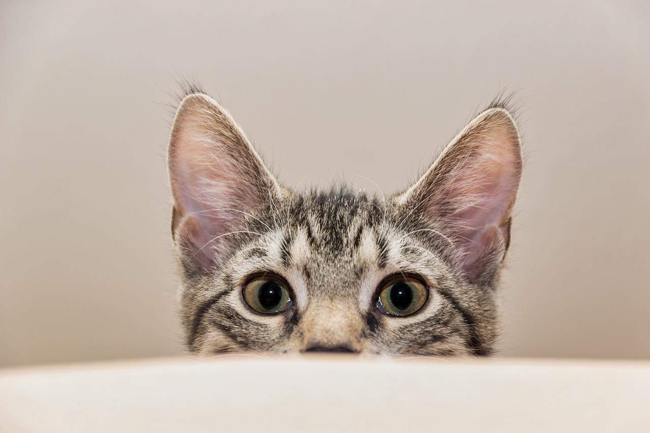 gatto orecchi dritte
