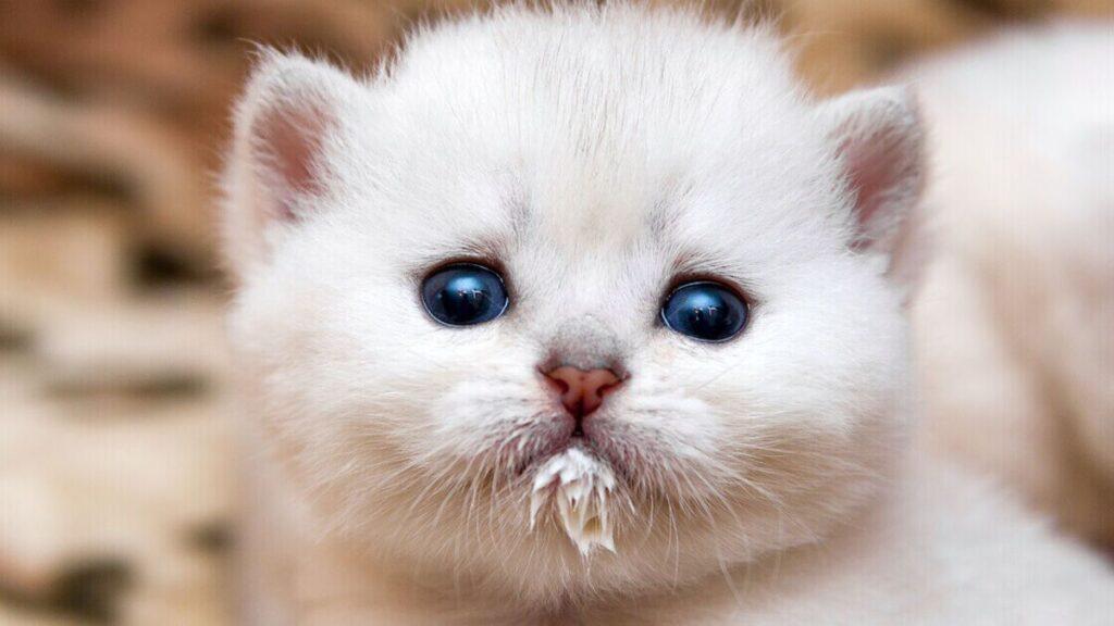 gattino con la bocca sporca di latte