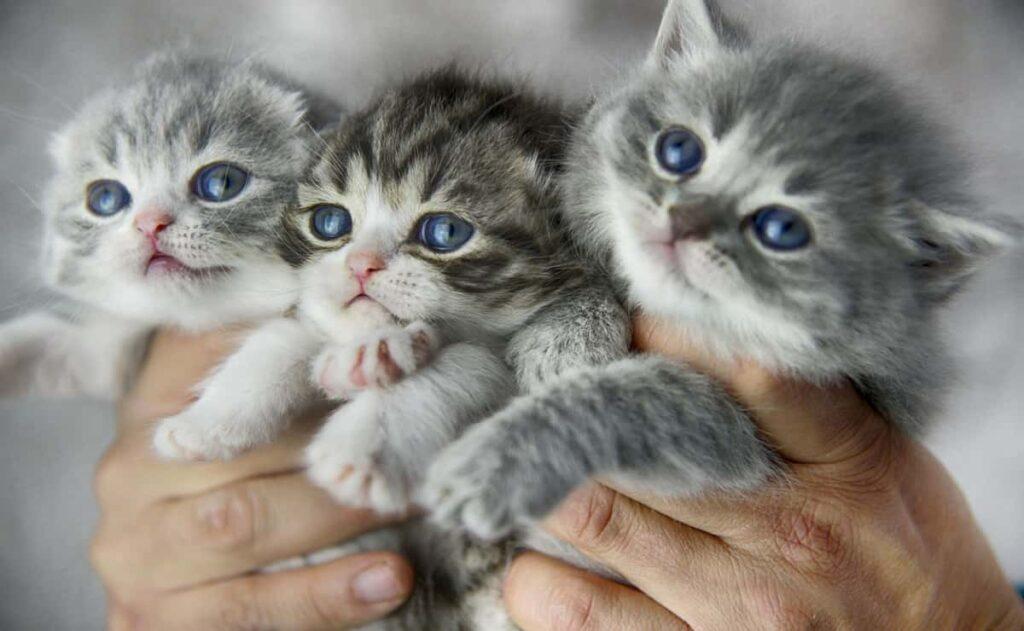 tre cuccioli di gattino in mano