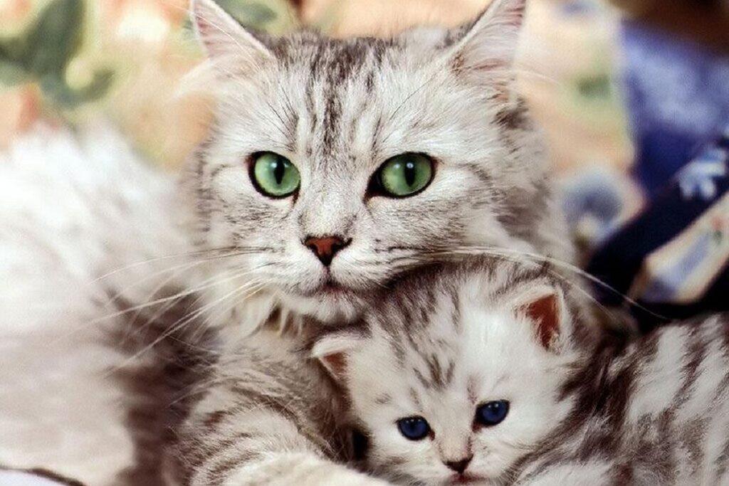 mamma e gattino grigi