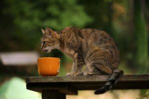 gatto concentrato a mangiare