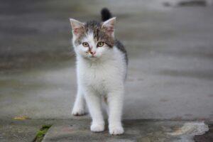 gattino bianco e grigio cammina