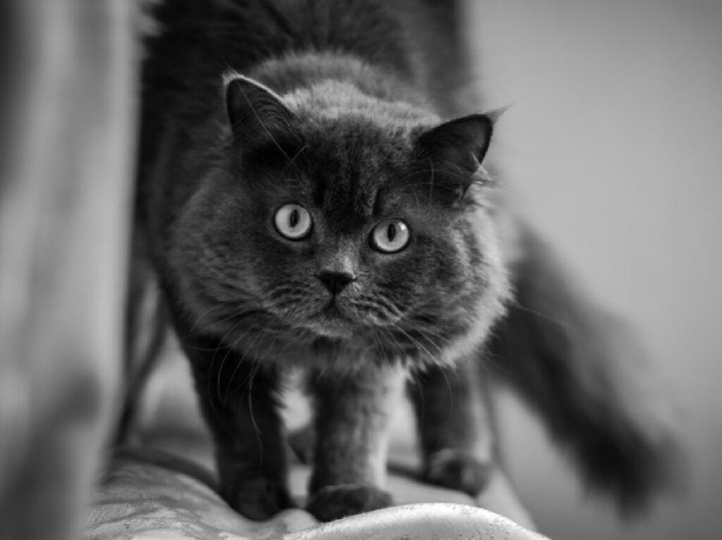 gatto grigio sguardo bianco