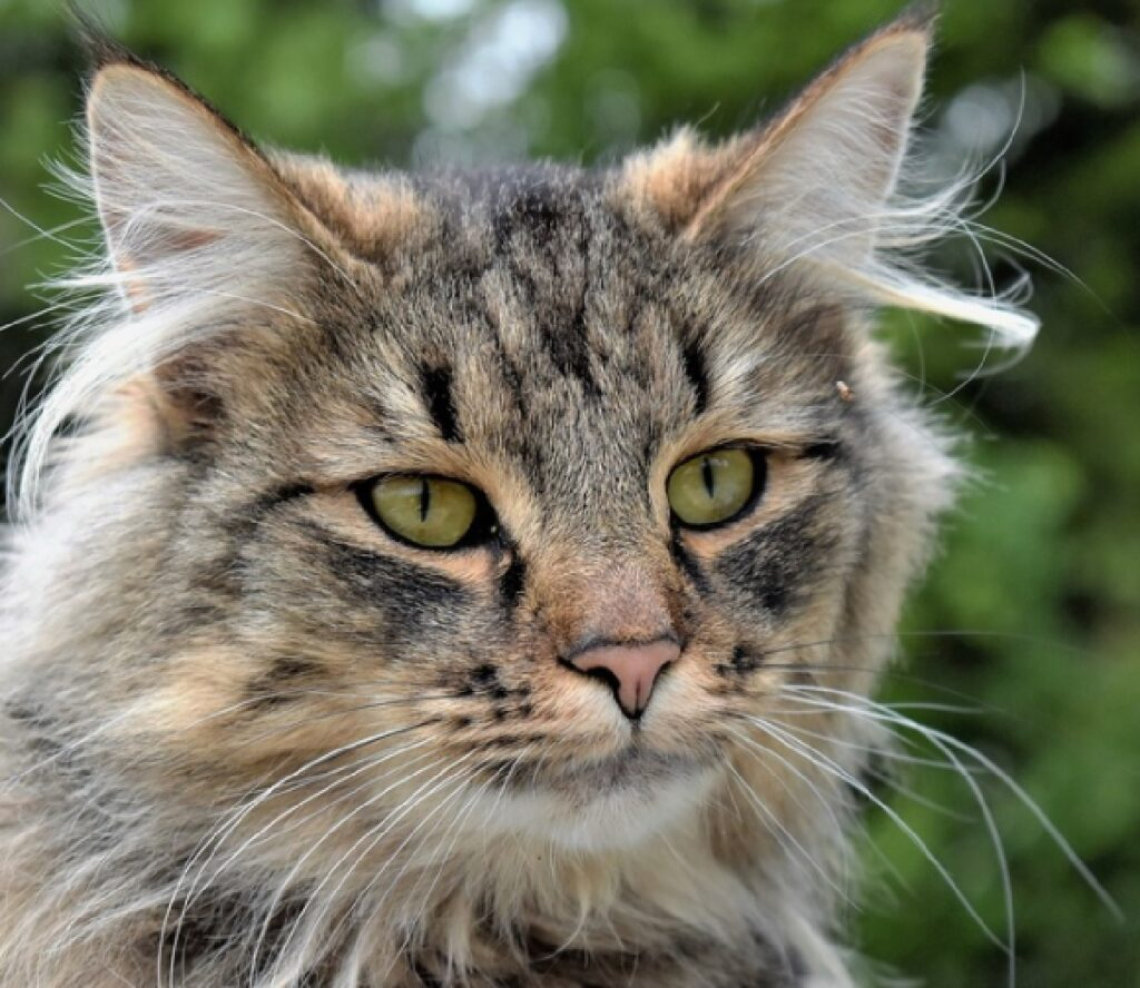 gatto grigio pelo lungo vento