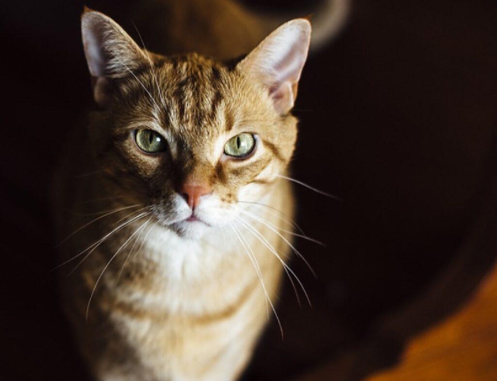 gatto arancione penombra comparsa